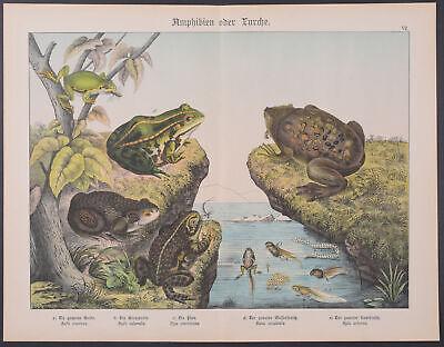 7-1886 Naturgelchicte Des Teirreichs Drip-Dry Frog Or Toad With Tadpoles Schubert