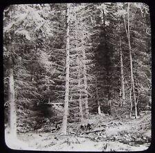 Glass Magic Lantern Slide A THICK PINE TREE FOREST C1890 PHOTO NATURE STUDY