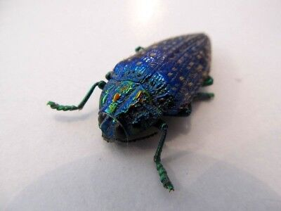 Jewel Beetle Polybothris sumptuosa gema Spread Real Insect Taxidermy