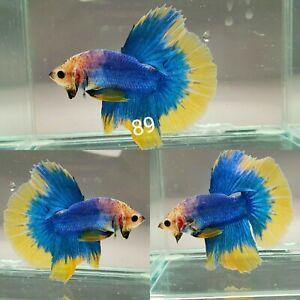 Live Betta Fish High Quality Male Yellow Blue Halfmoon Plakat