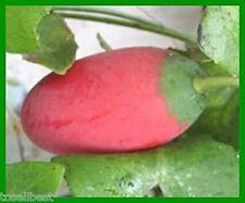 0,76€/St. Thai Efeu Kürbis 5+1 GRATIS Samen Tindola (Coccinia grandis) Ivy Gourd