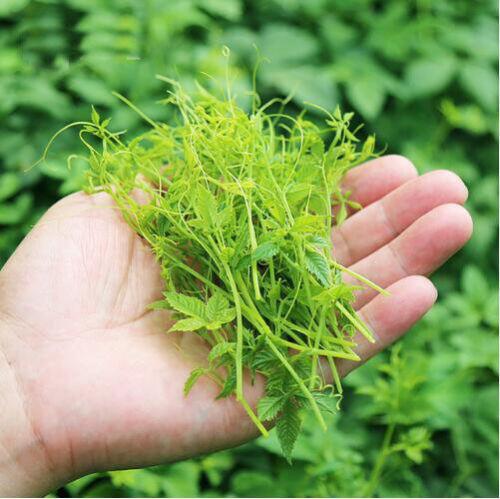 100 pcs Gynostemma pentaphyllum Seven leaves Jiaogulan Herb seeds