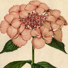 Décoration Botanique Fleur Hortensia Hydrangea acuminata Lithographie XIXème