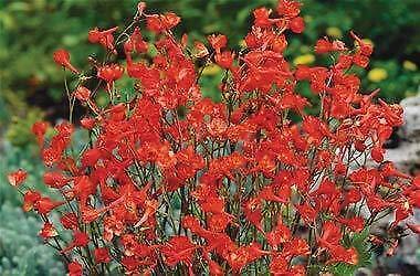 Perenniel Red Larkspur 20 Seeds Delphinium nudicaule