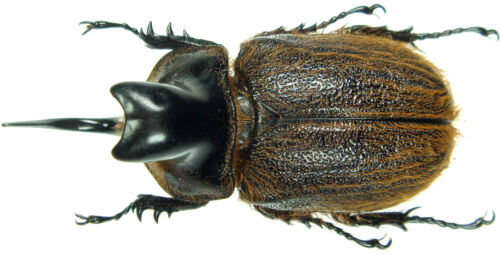 Insect C.Peru Heterogomphus hirtus Large Male 45~50mm ....!!