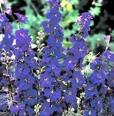 F0268 Larkspur Imperial Blue Spire x50 seeds, Cottage Garden