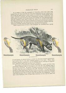 Tasmanian-Wolf-Book-Illustration-Print-c1916