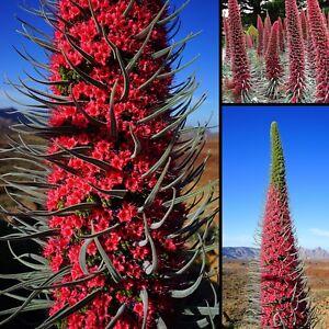Imposant-Roter-Teide-Natternkopf-15-Samen-Echium-wildpretii-seeds-bis-zu-3-m