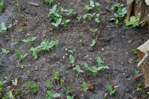 Food or Cover Crop Black-Eyed Seeds 250 Cow Peas Tested High Germination!