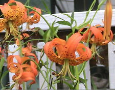 10 Turk's Cap Lily Seeds