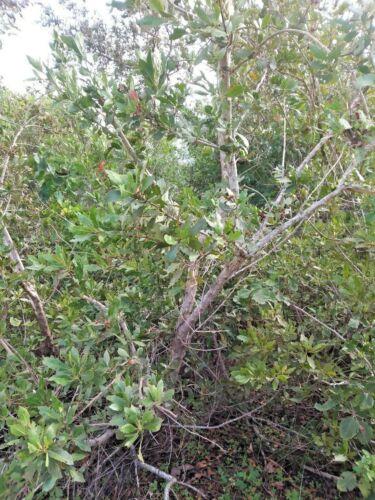 Conocarpus erectus 40 FLORIDA BUTTONWOOD SEEDS