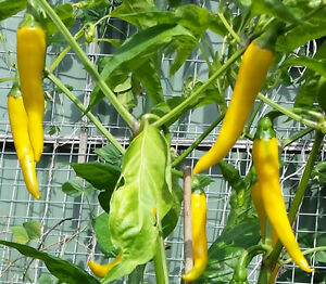 Golden Cayenne Chilli- An Unique Bright Orange/Yellow Chilli from Cayenne Family