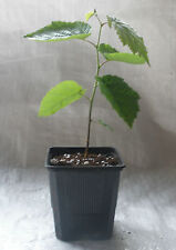 Common Dogwood, Cornus Sanguinea Container Grown in Pots  X  2