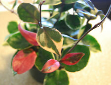Hoya Carnosa Tri Color Exotic Flowering Tropical House Plant - Fresh Cutting