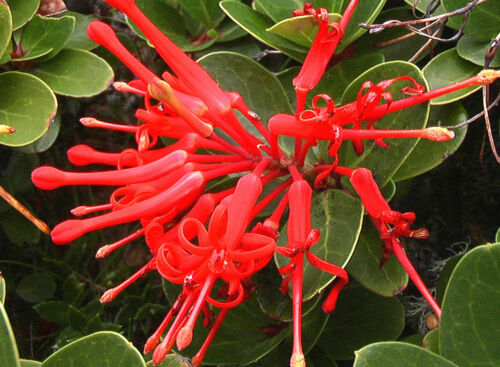 4 seeds Embothrium coccineum fire from Chile flame flower