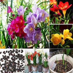 100Pcs/Bag Freesia bulbes vieux Parfum Fleur Graines Jardin Plantes ...