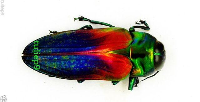 BUPRESTIDAE/Belionota tricolor - Seram,  Indonesia