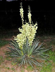 Yucca plants adams needle white flowers desert lot of 10 25 inches image is loading yucca plants adams needle white flowers desert lot mightylinksfo
