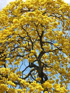 Tabebuia caraiba exotic yellow trumpet flowering tree bonsai gold image is loading tabebuia caraiba exotic yellow trumpet flowering tree bonsai mightylinksfo