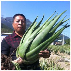 Aloe Vera Folha Grande 45 50cm Planta Medicinal 17 Oz Pragmáticos