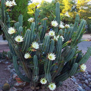 Cereus-hildmannianus-QUEEN-OF-THE-NIGHT-night-blooming-cacti-seed-100-SEEDS