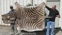 59 inch South African Zebra skin rug hide pelt taxidermy # ACE 23483