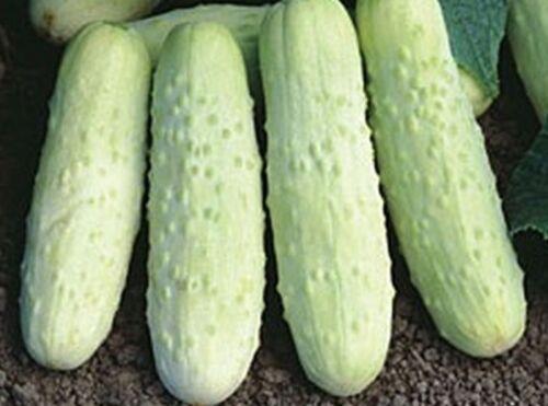 ½gr - 10gr White Wonder Cucumber Seed Heat Tolerant Heirloom Vegetable Seeds