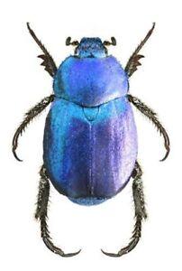 Hoplia coerulea ONE REAL BLUE SCARAB BEETLE FRANCE