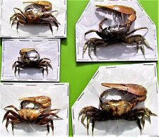 Uncommon Yellow Claw Fiddler Crab Uca Sp. Dried-For Crafts FAST SHIP FROM USA