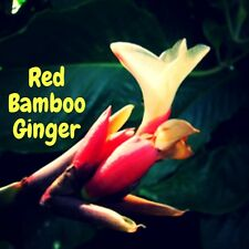 ~RED BAMBOO GINGER~ Alpinia luteocarpa Collector's Zingiber LIVE Potted PLANT