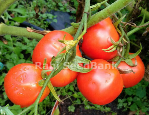 Tomato Siberian Red 10 Seeds Heavy Cropping Bright Red Egg Globe Shaped Fruit