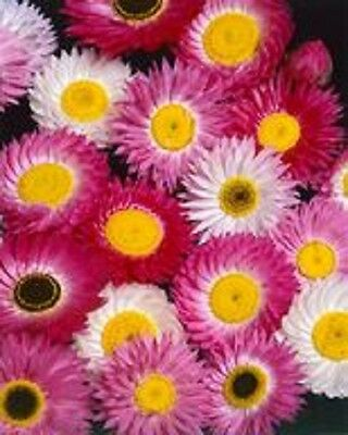 50+ ACROCLINIUM   LARGE FLOWERED ROSEUM  FLOWER SEEDS / PERENNIAL