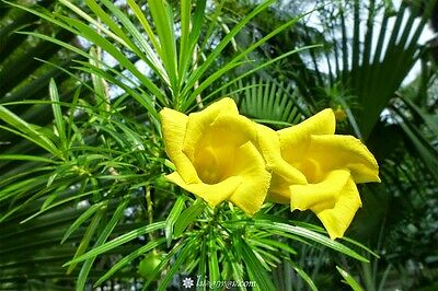 ***20 SEEDS*THEVETIA PERUVIANA*YELLOW OLEANDER***BE STILL TREE***free shipping**