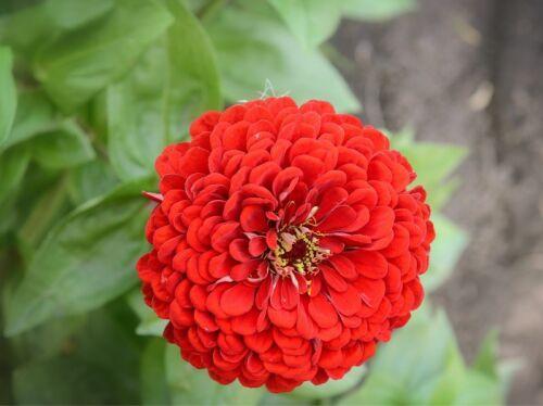 "red 90 seeds Dwarf garden zinnia /""Liliputek/"""