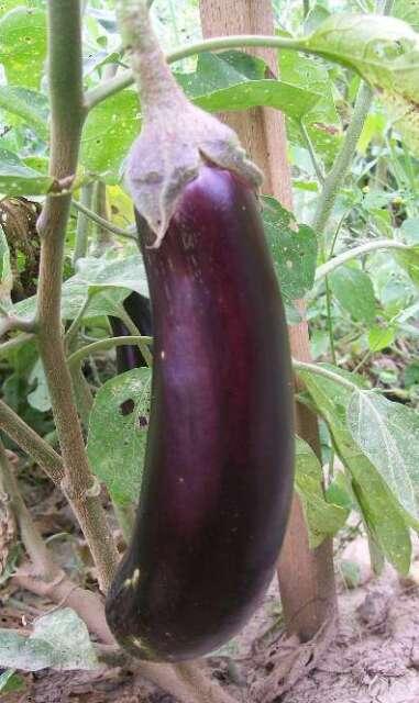 Long Egg Plant 100pcs Garden Home Plant Vegetable Seeds/_AU