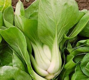 vegetable cabbage pak choi white stem 4 gram 1600 seeds ebay. Black Bedroom Furniture Sets. Home Design Ideas