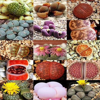 Rare Lithops Seeds Living Stones Succulent Cactus Organic Bulk 100x Mix Seed E0Y