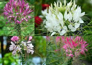 100-Samen-Cleome-hassleriana-Spinnenblume-Pink-weiss-violett