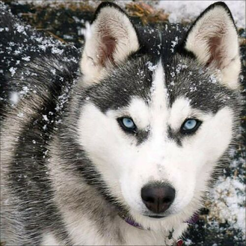 Full Drill DIY Husky 5D Diamond Painting Crystal Embroidery Kits Decors 30*30cm