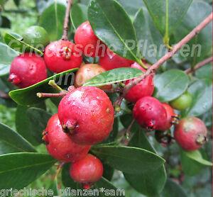 erdbeer guave 5 samen leckere fr chte exotische k belpflanze obst frucht ebay. Black Bedroom Furniture Sets. Home Design Ideas