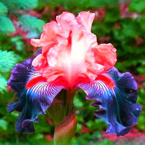 Color Iris 2 Bulbs Bearded Resistance Flowers Perennial Garden Mixed Blooms