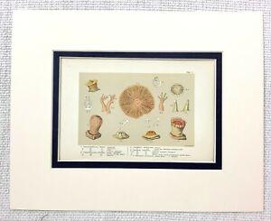 1855 Antico Stampa Mare Creatures Animali Anemone Naturale Storia 19th Secolo