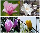 100 SEMI DI MAGNOLIA flower Tree FIORI Bonsai Woody Plants Seeds Subtropics