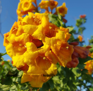 Blühen Spektakulär 30 Saatgut Frische Tecoma Alata Bignonia Orange