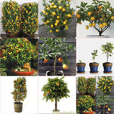 30X Organic Delicious Edible Mandarin Citrus Orange Bonsai Fruit Tree Seeds