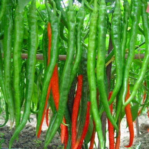 Chili Paprika Samen Saatgut Pflanze Sämereien 20 Stück Rot/_Cayennepfeffer