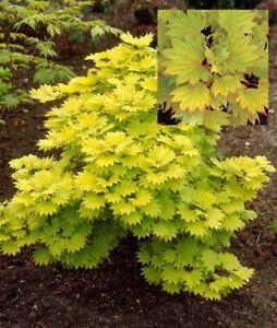 Yellow Moon Bonsai Maple Acer Shirasawanum Aureum 20 Seeds Ebay