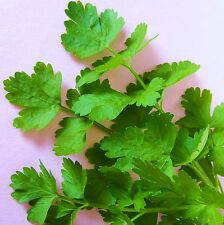 PARSLEY - FLATMATE - 400 Seeds [..fast growing & full of flavour at any size!]