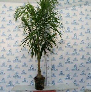 syagrus romanzoffiana 170-190 cm pot 26 cm