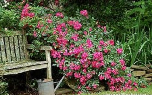Rose,Red Robin Hood Everblooming rose hedge..5- seed pods